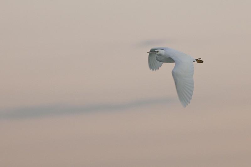 Late Egret