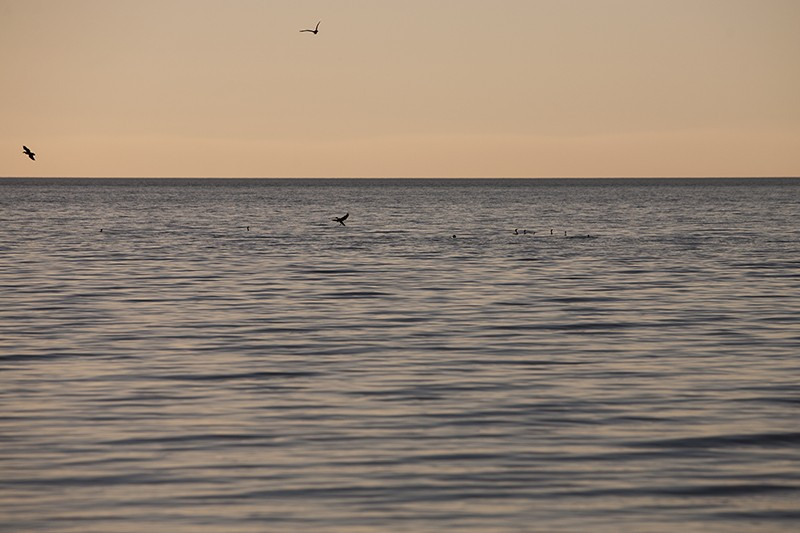 Cormorant Wide