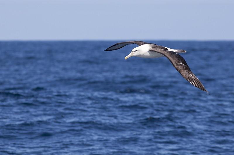 Albatross Soar