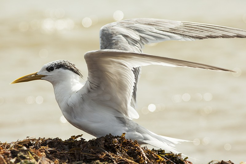 Flight Tern