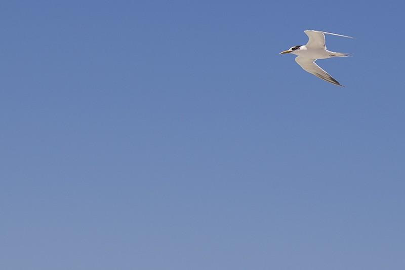 High Tern