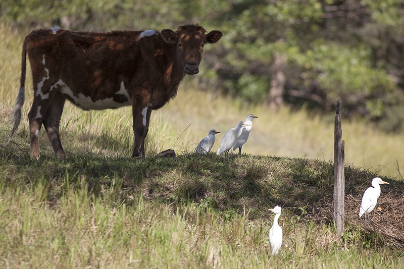 Cattle - Egret