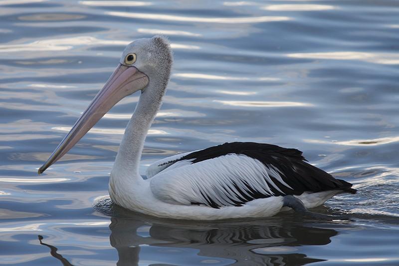 Liquid Pelican