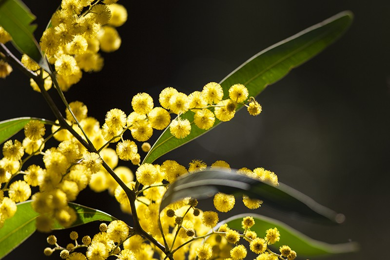 Winter Wattle
