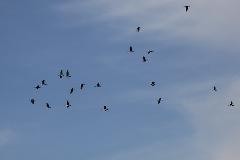 Twenty Cormorants
