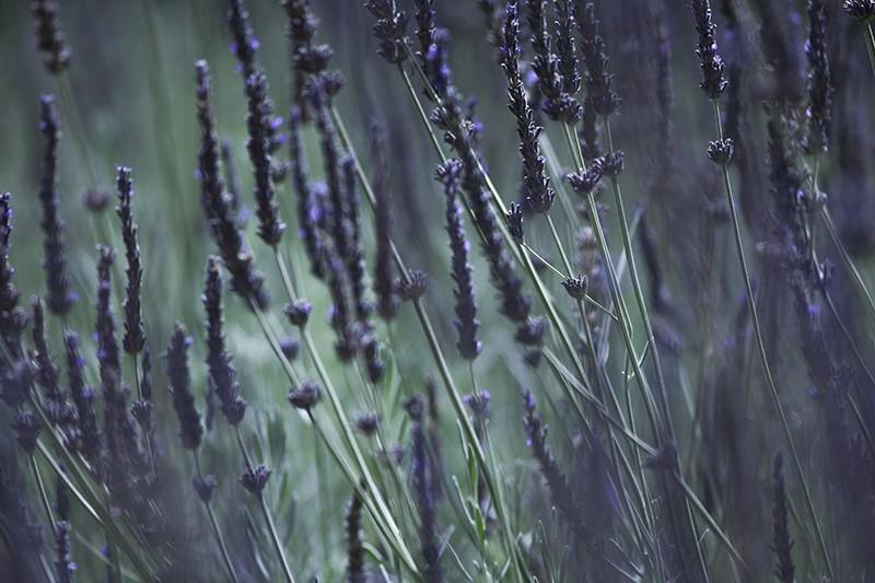 Dusk Lavender