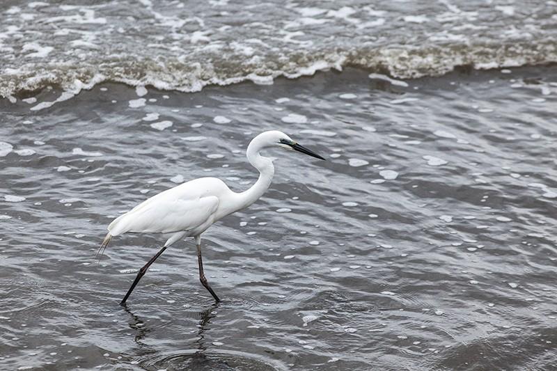 Ripple Egret