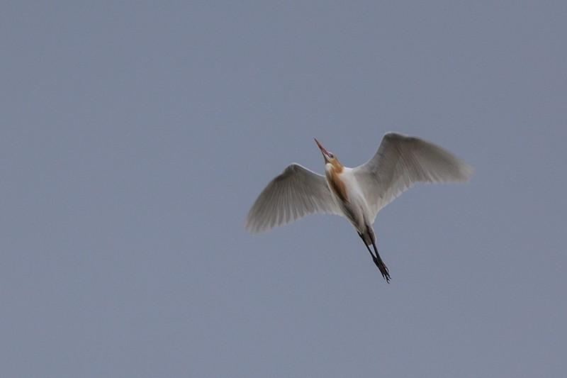 Storm Egret