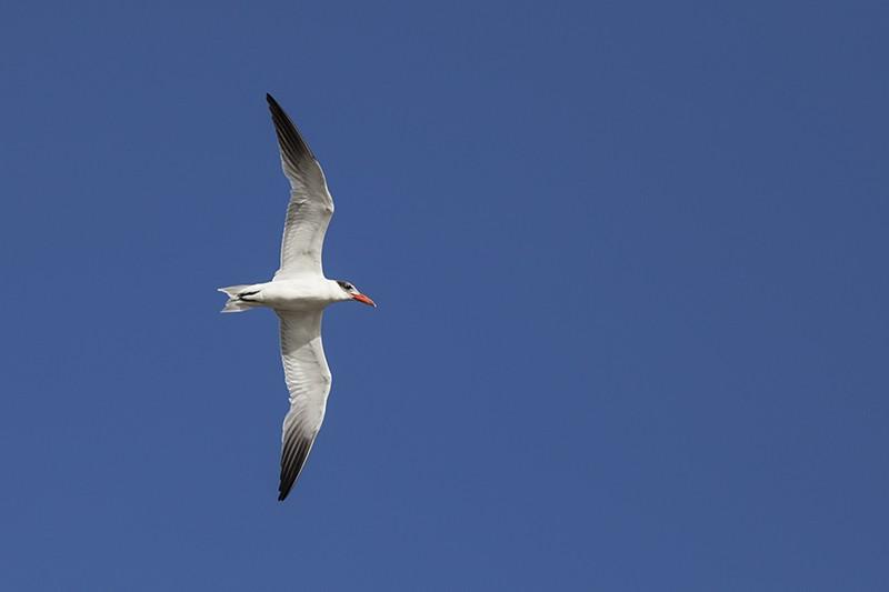 Straight Tern