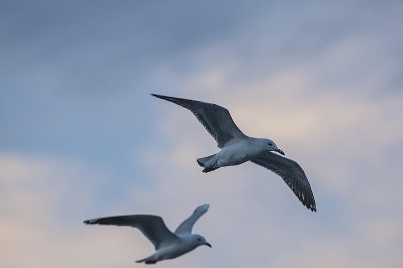 Soft Gulls