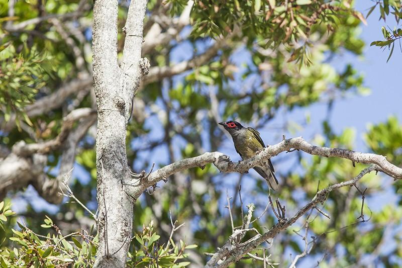 Shy Figbird
