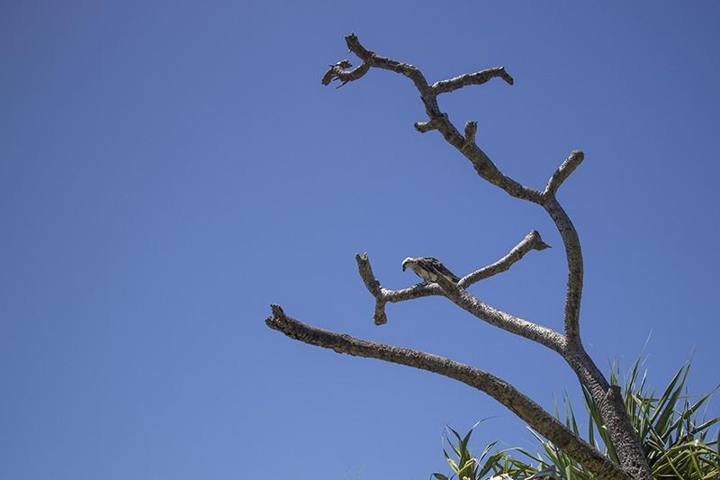Wild Osprey Tame