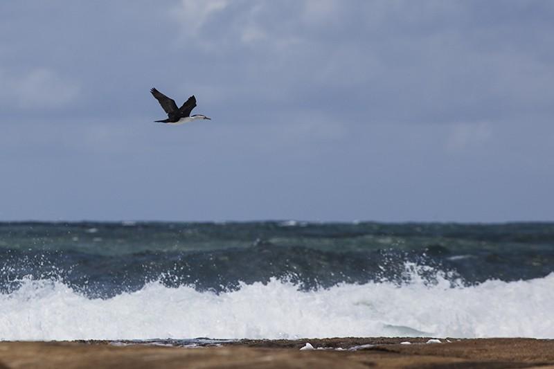 Surf Cormorant