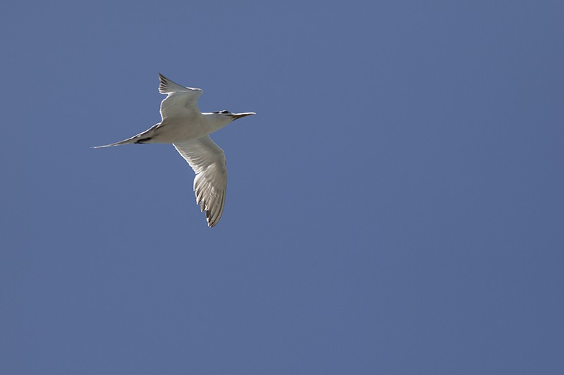 Pointed Tern