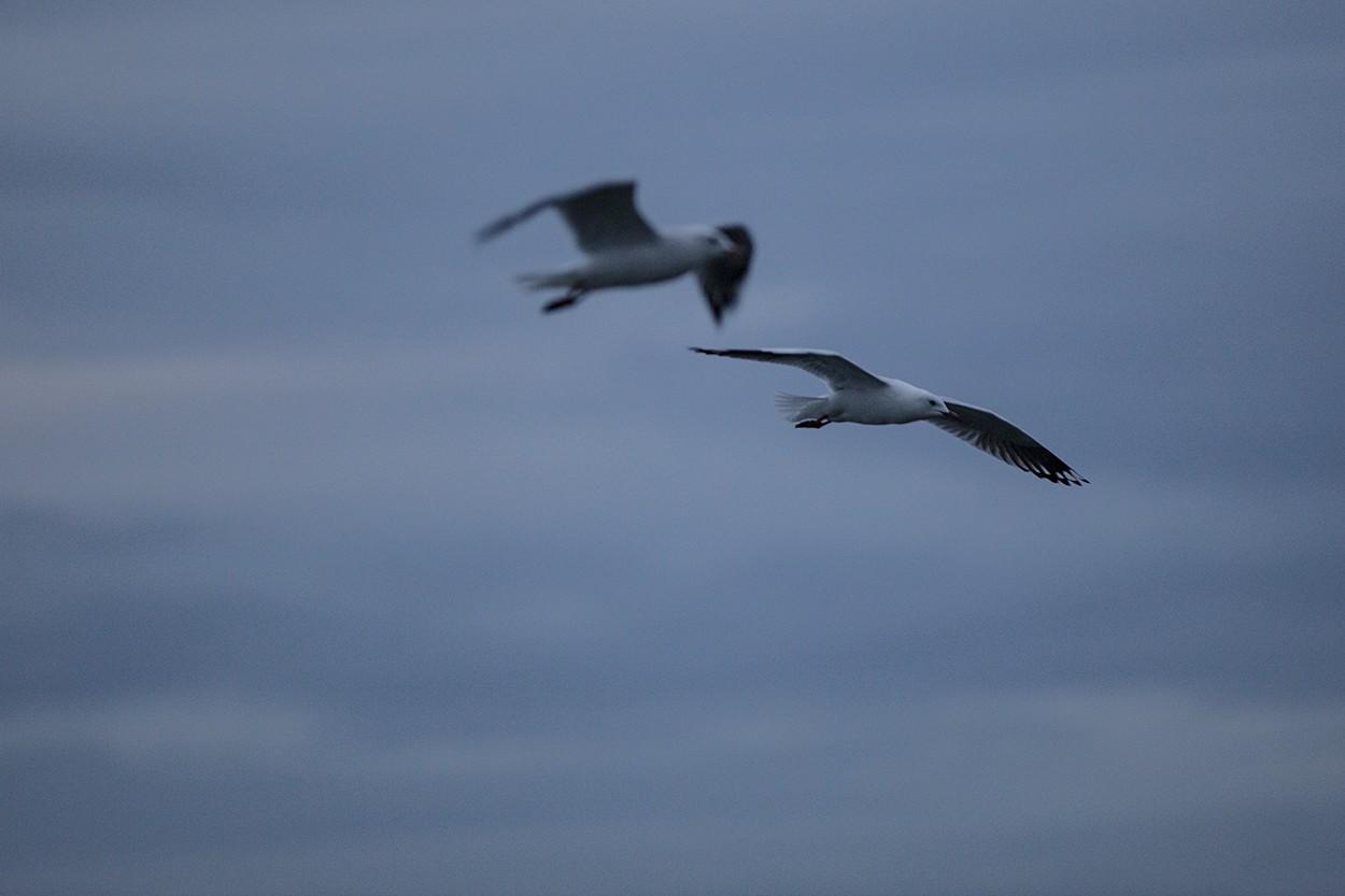 Dawn Gulls