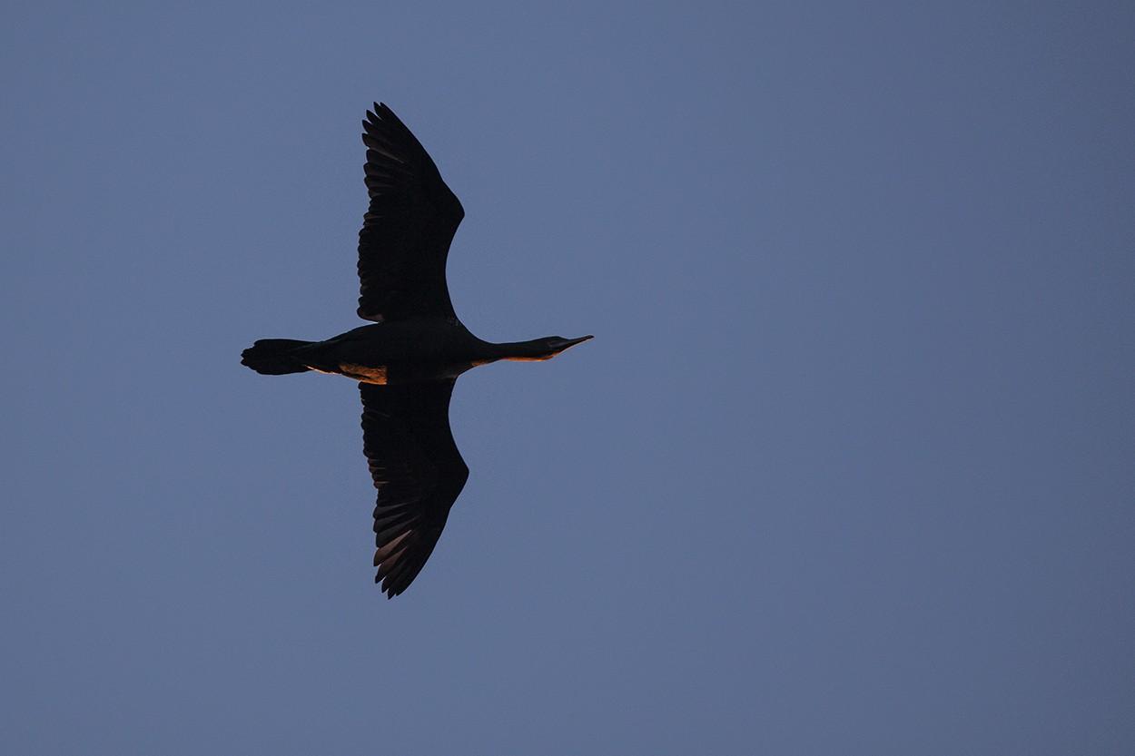 Setting Cormorant