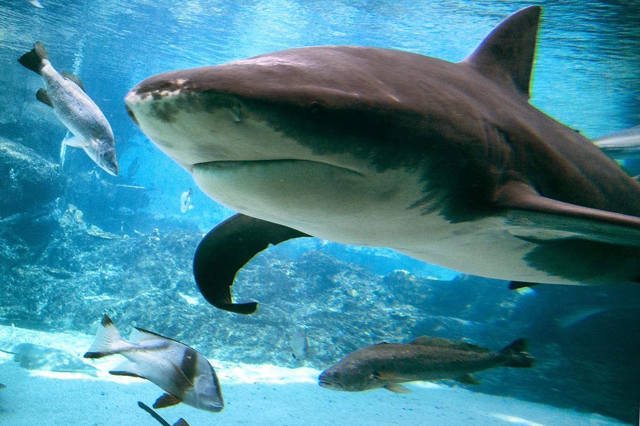 Shark, Bull, Bull Shark