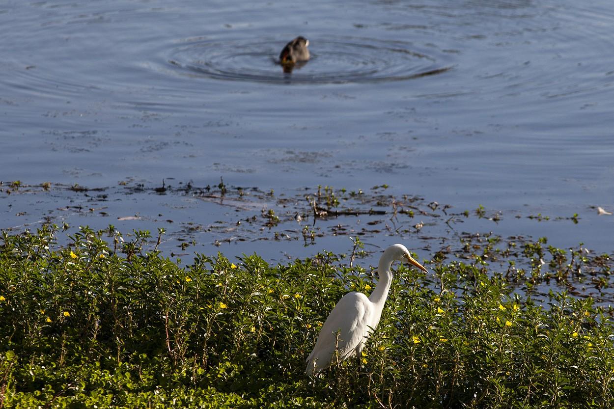 Egret Duck