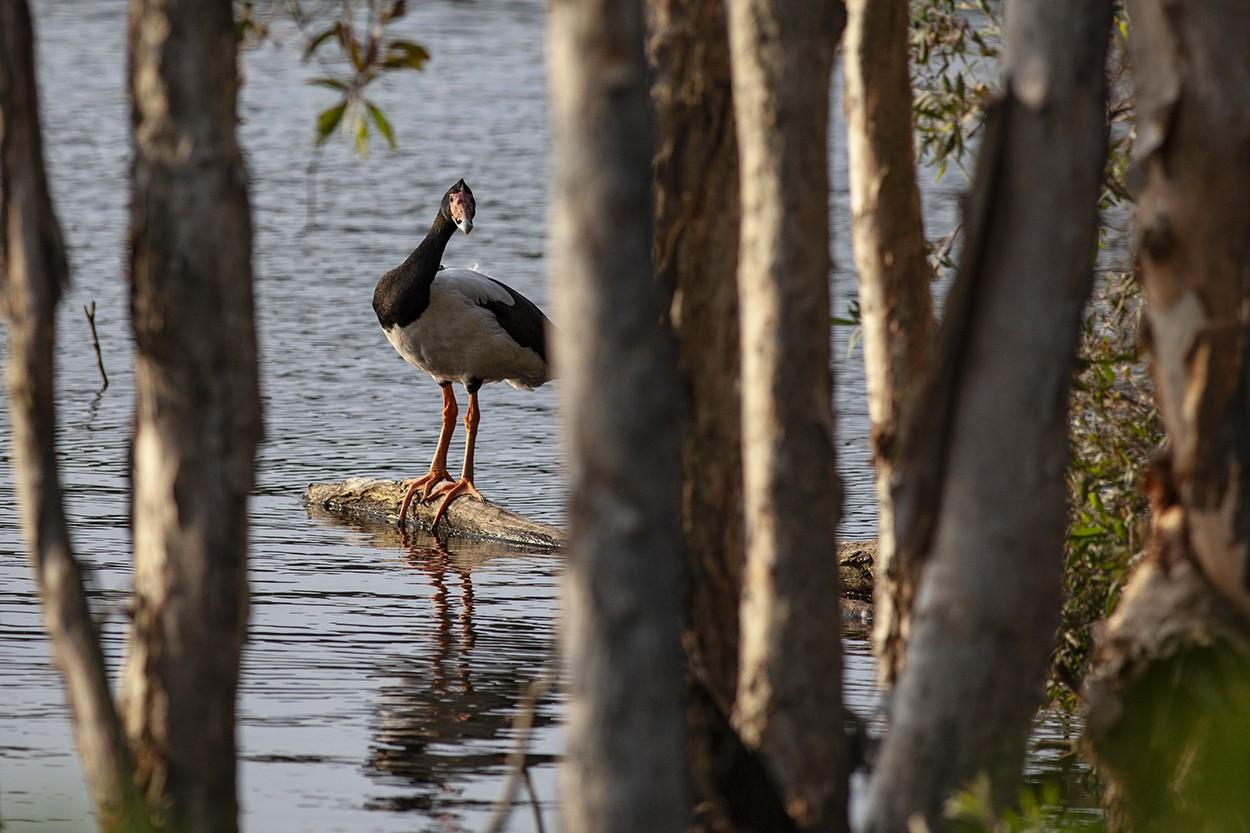 Goose Magpie Goose