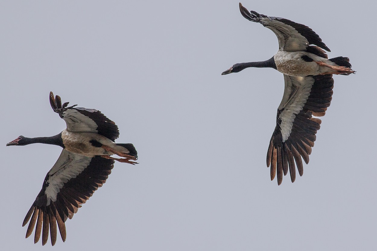 Pied Geese