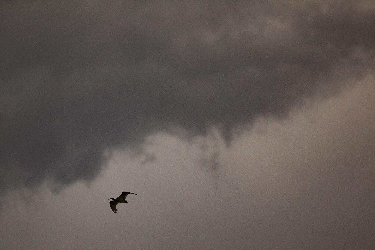 Storm Chicken