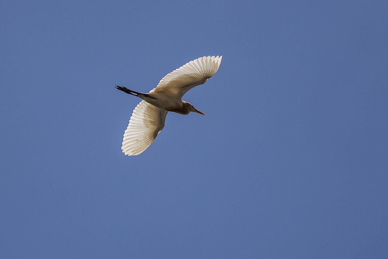 Blue Egret Soar