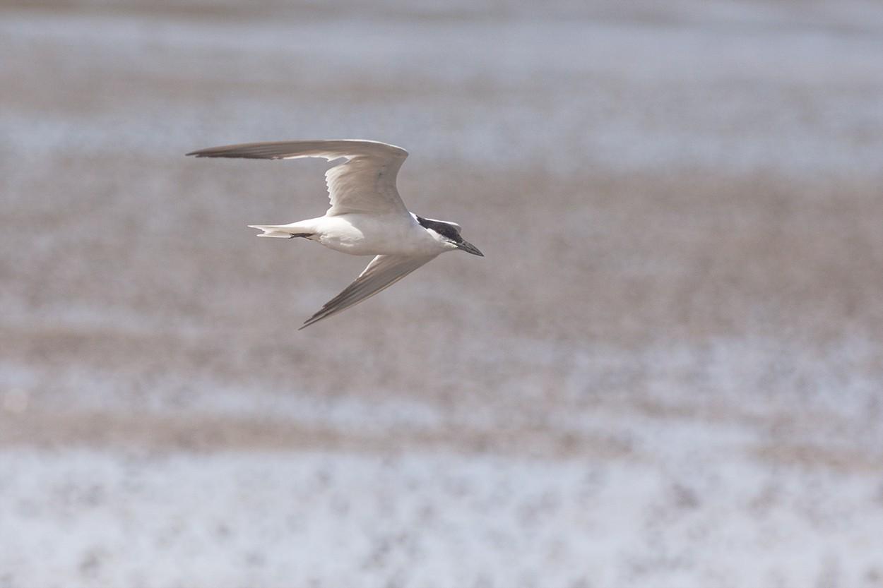 Gull-Billed
