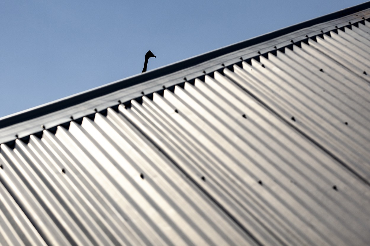 Goose on the Roof