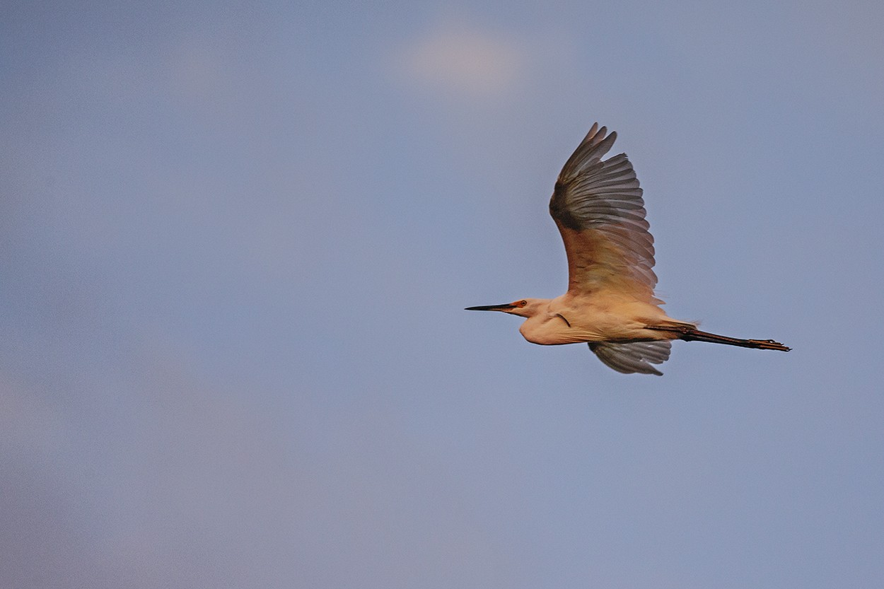 Dusk Egret