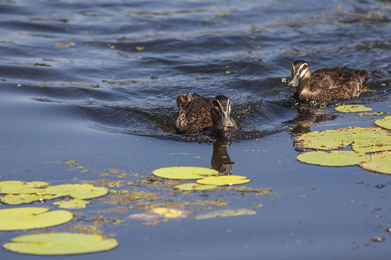 Lilly Ducks