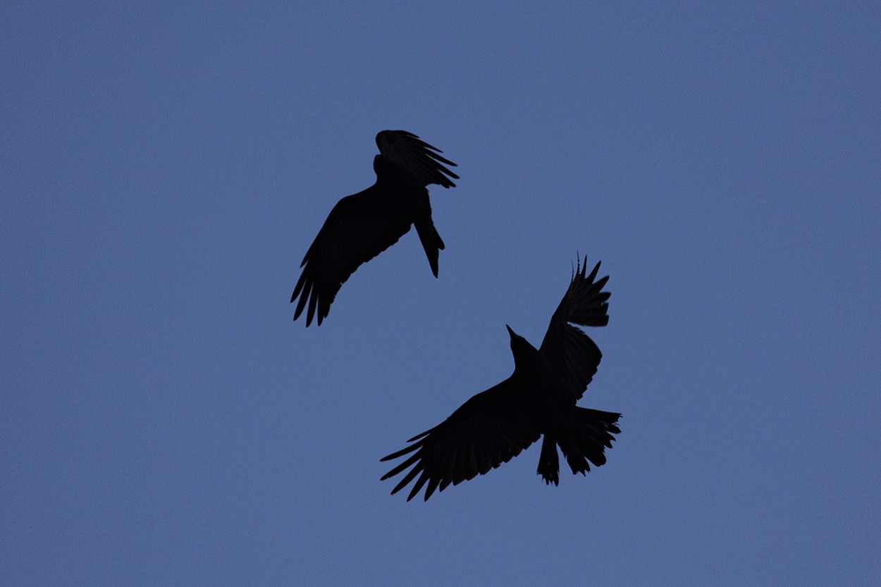 Blue Hour Crows