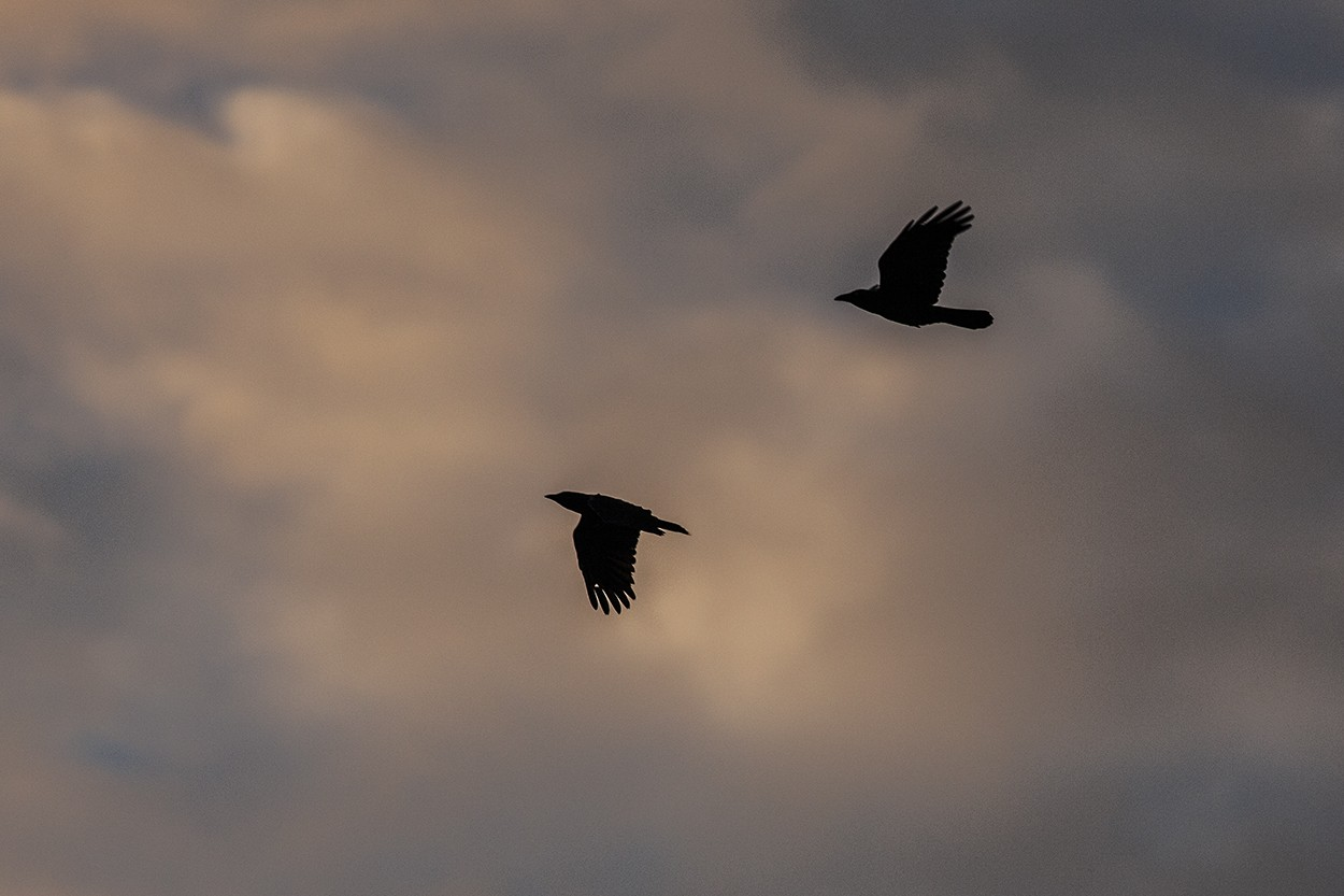 Cross Step Crows