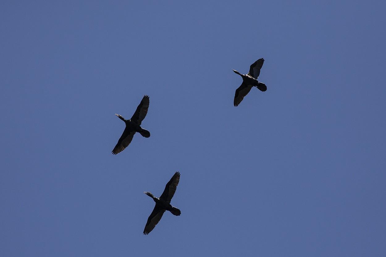 Cormorant Trio