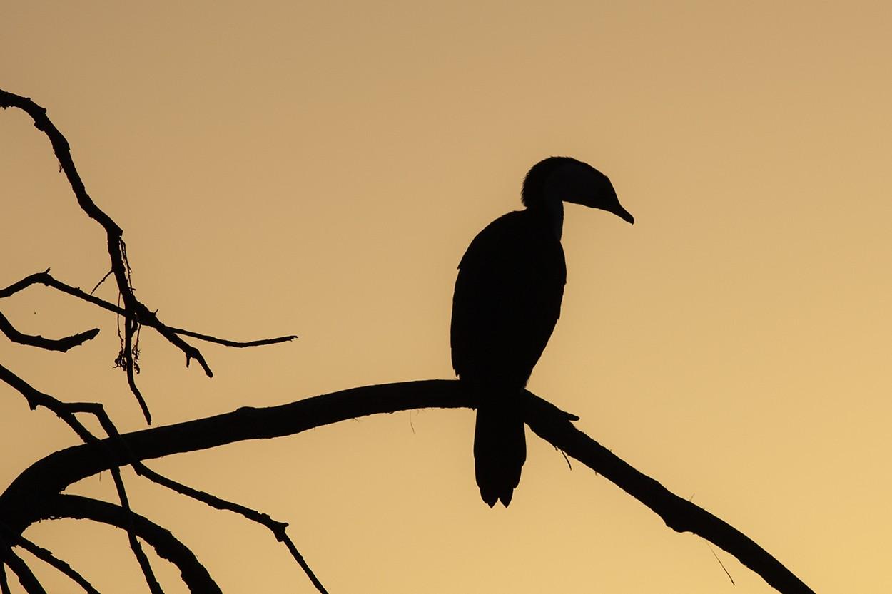 Set Cormorant