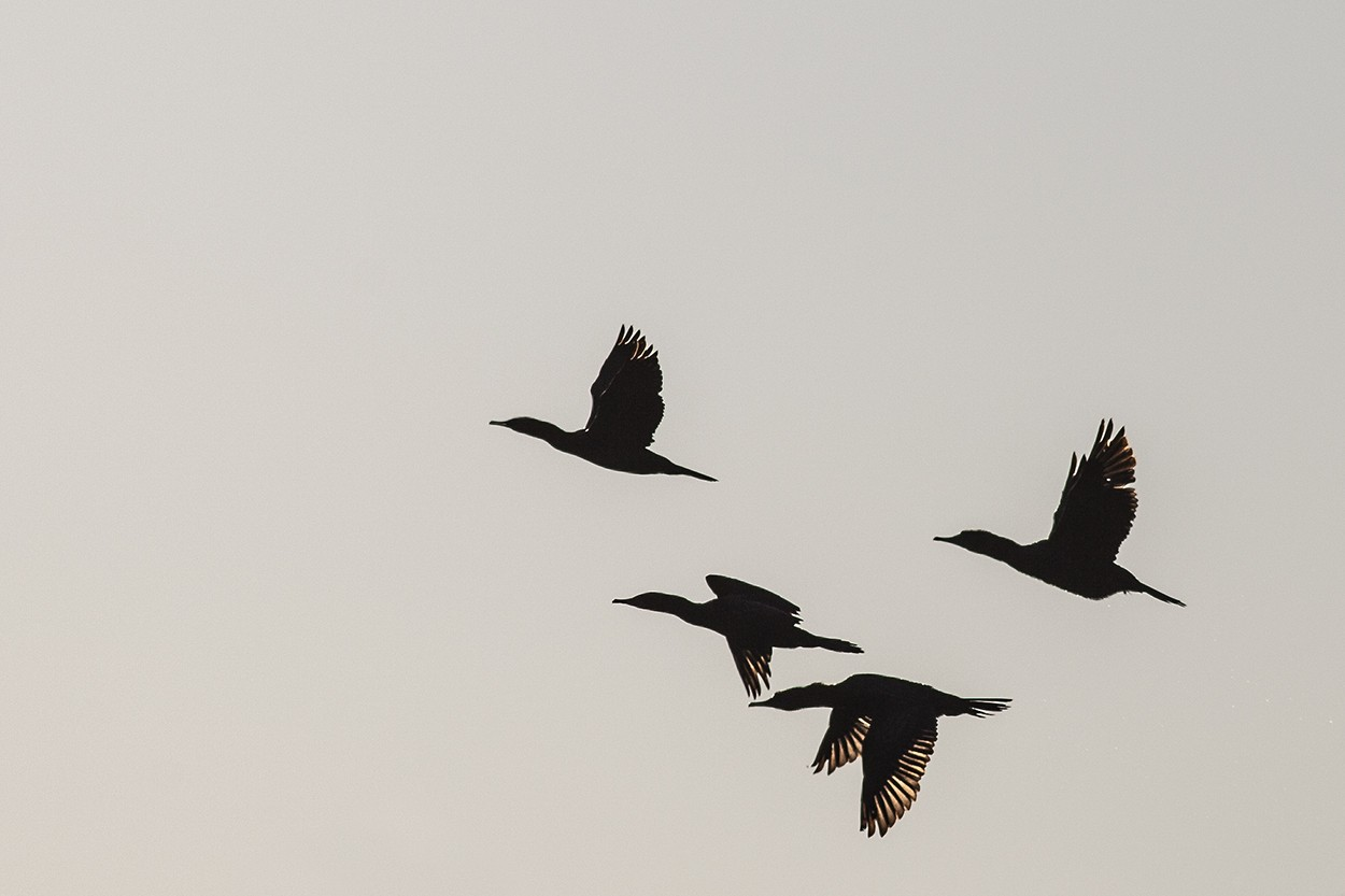 Roma Cormorants