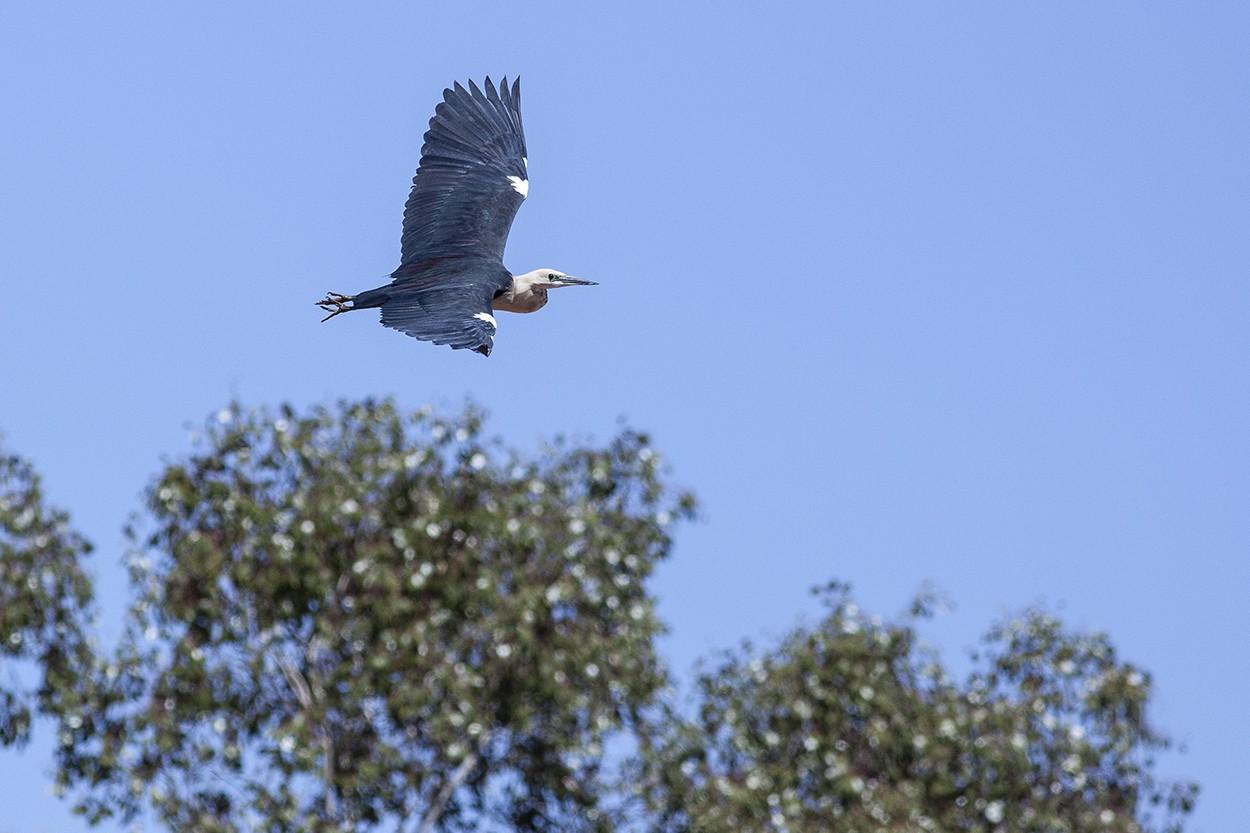 Inland Heron