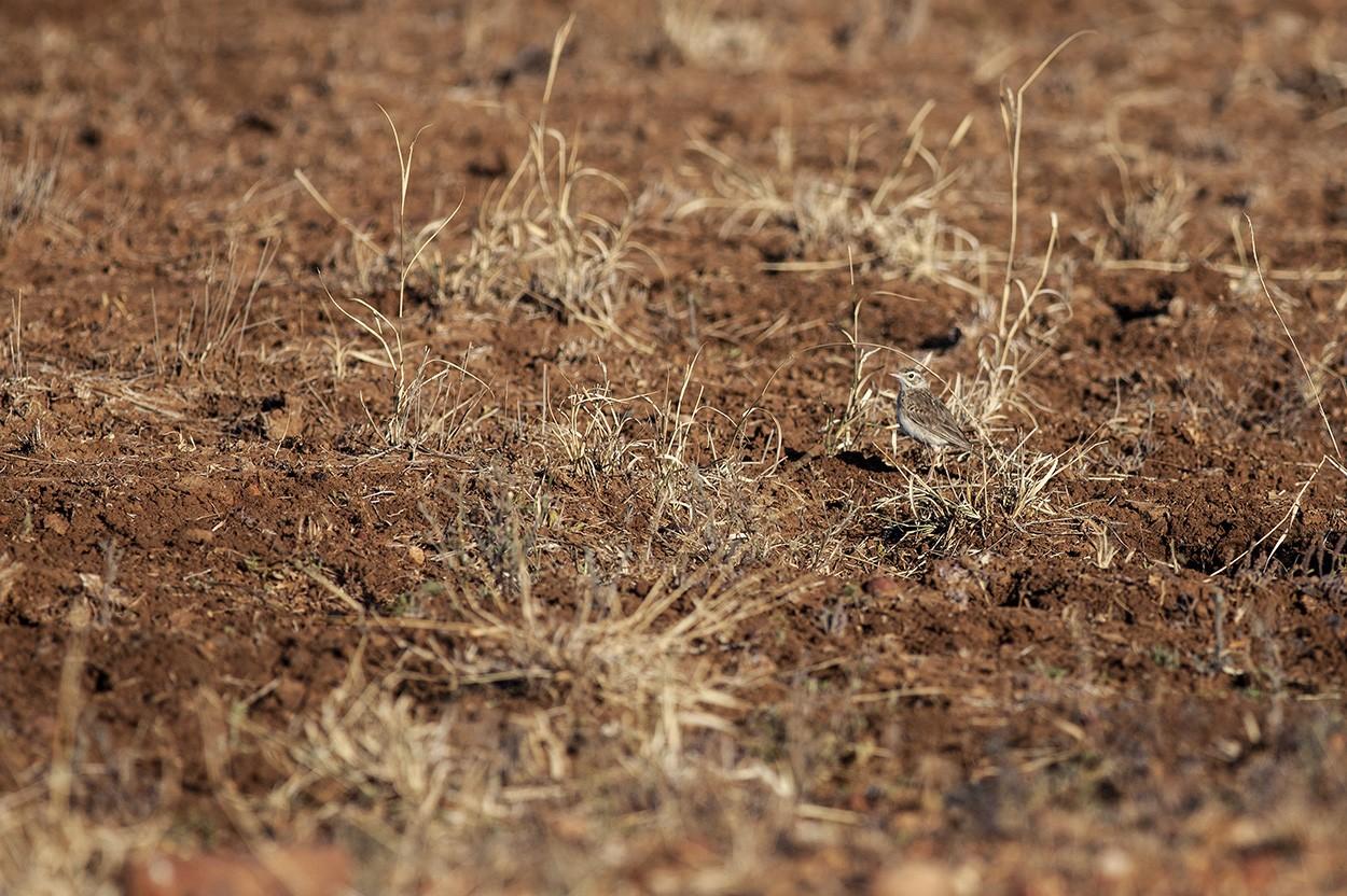 Groundlark