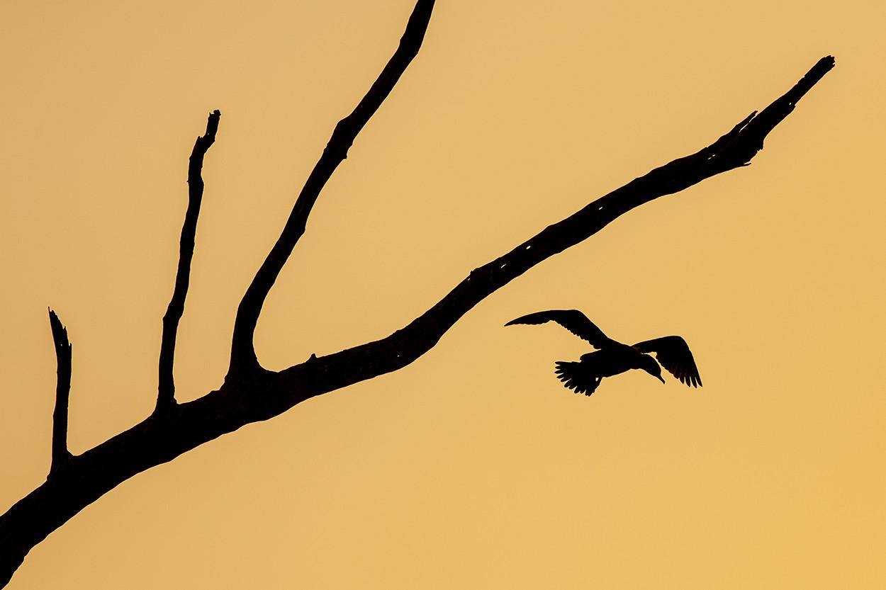 Cormorant Depart