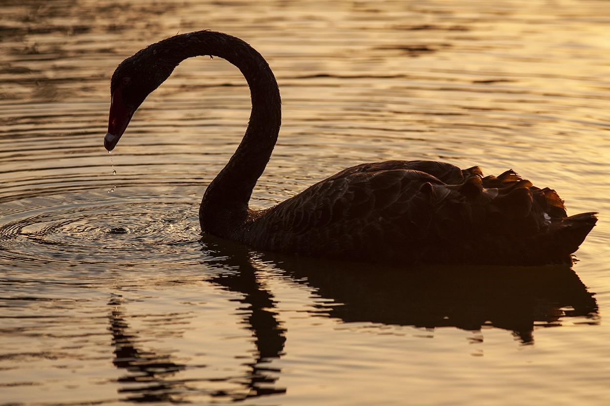 Dusk Swan