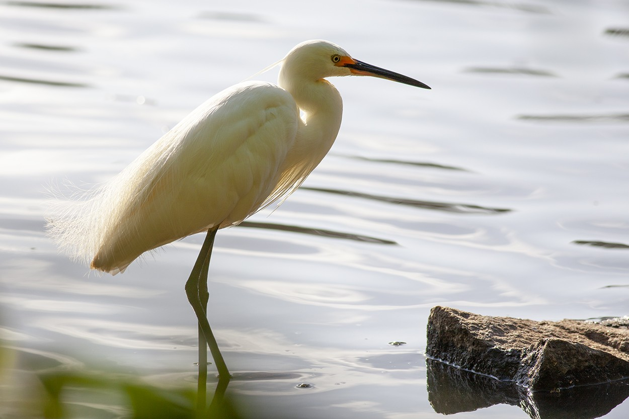 Breeding Egret