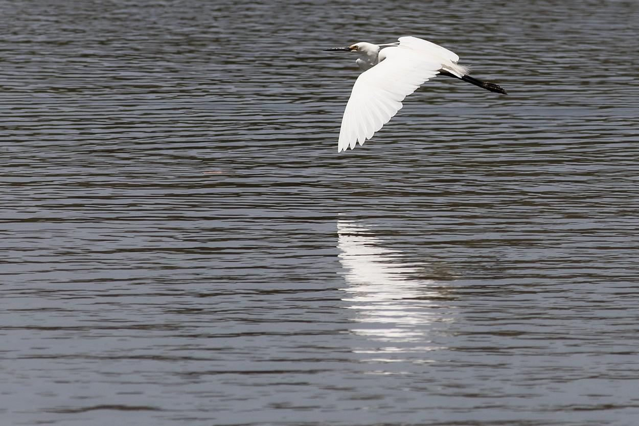 Egret Reflections