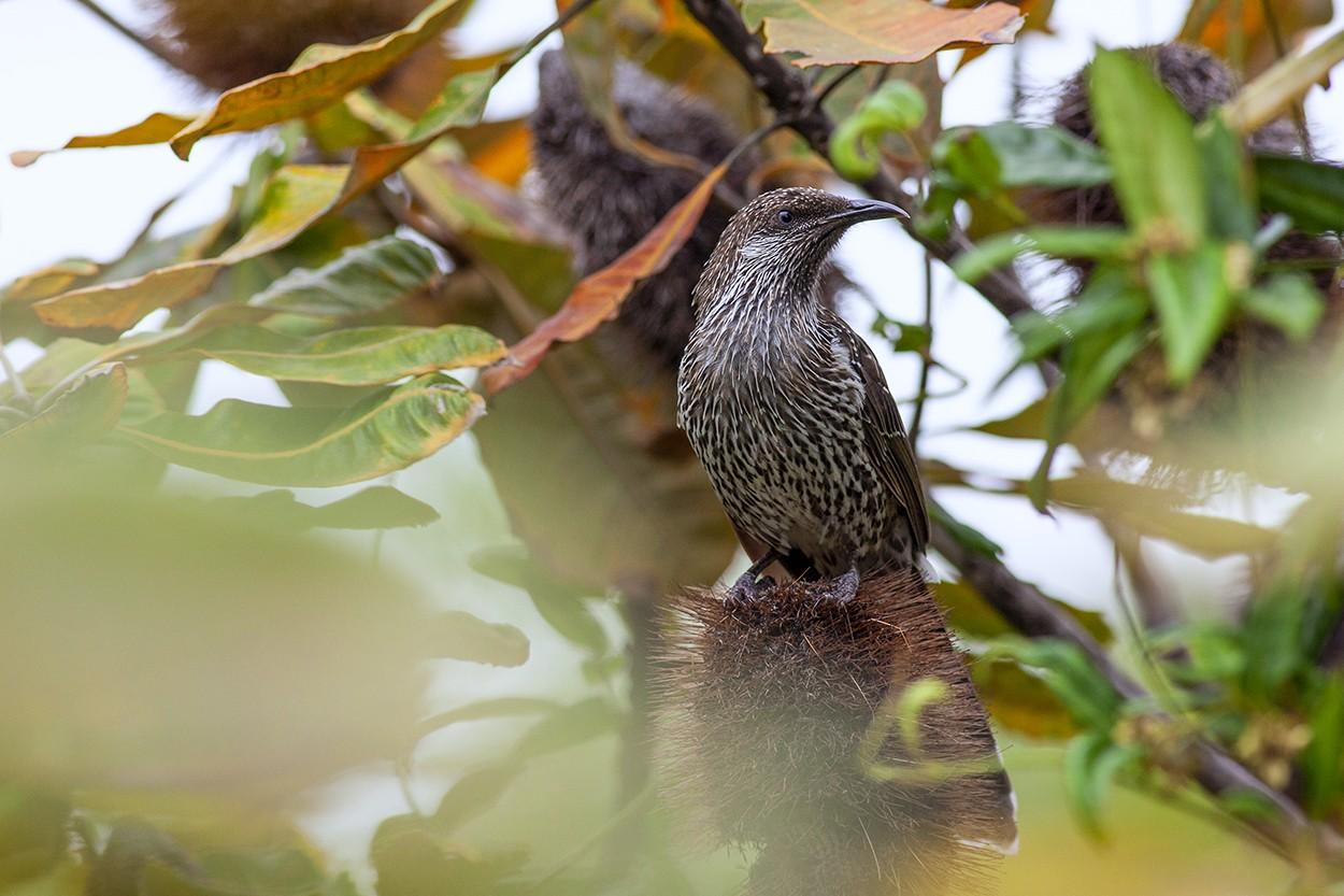 Wattle on Banksia