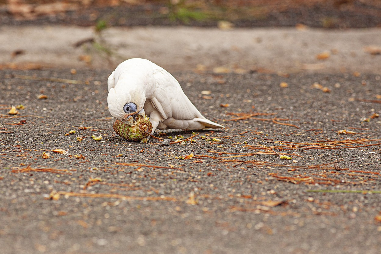 Corella Nut
