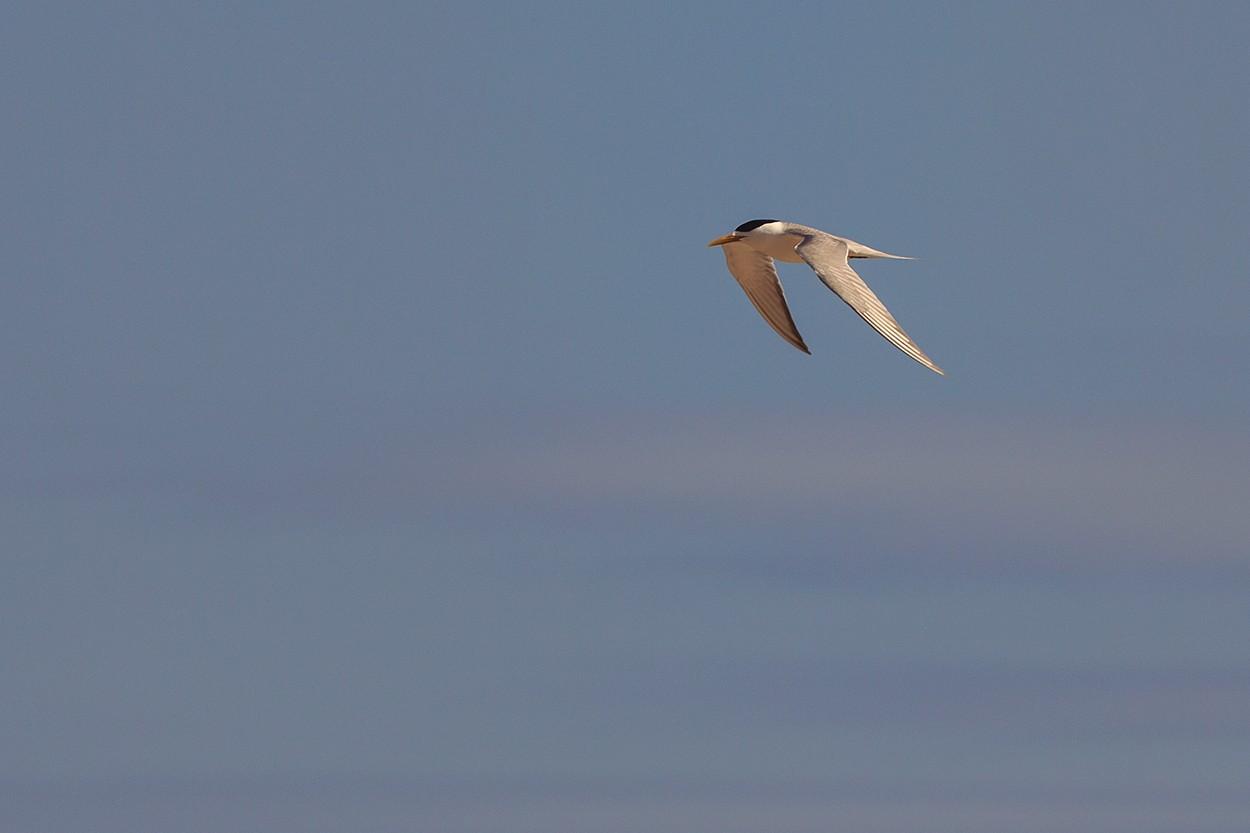 Fast Tern