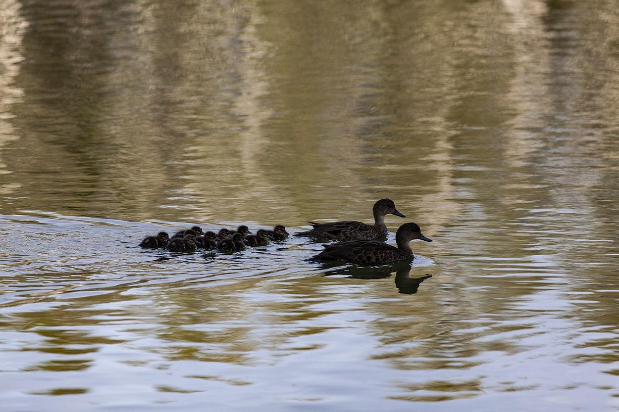 Ten Ducklings