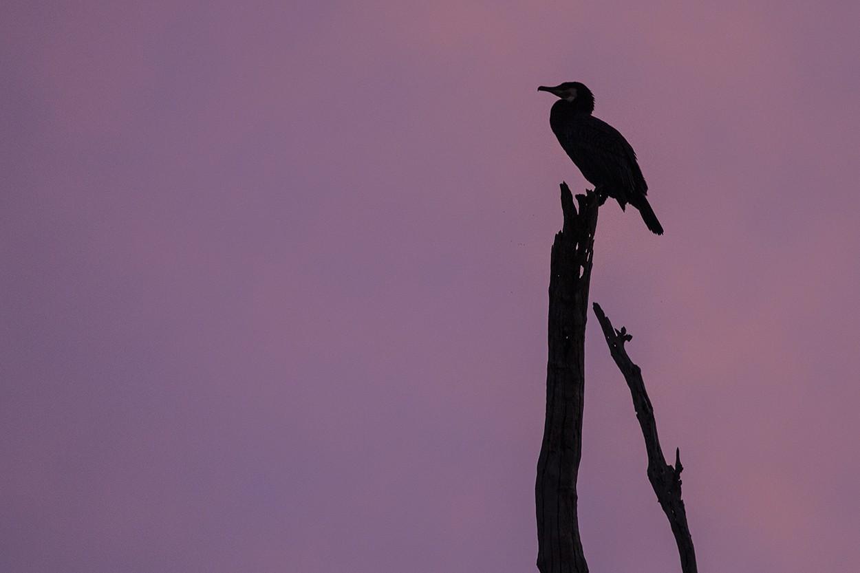 Pastel Cormorant 2
