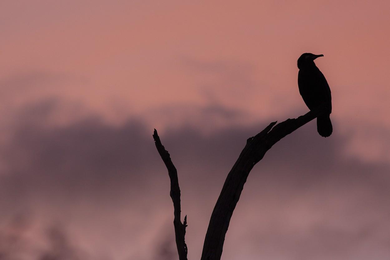 Pastel Cormorant 1