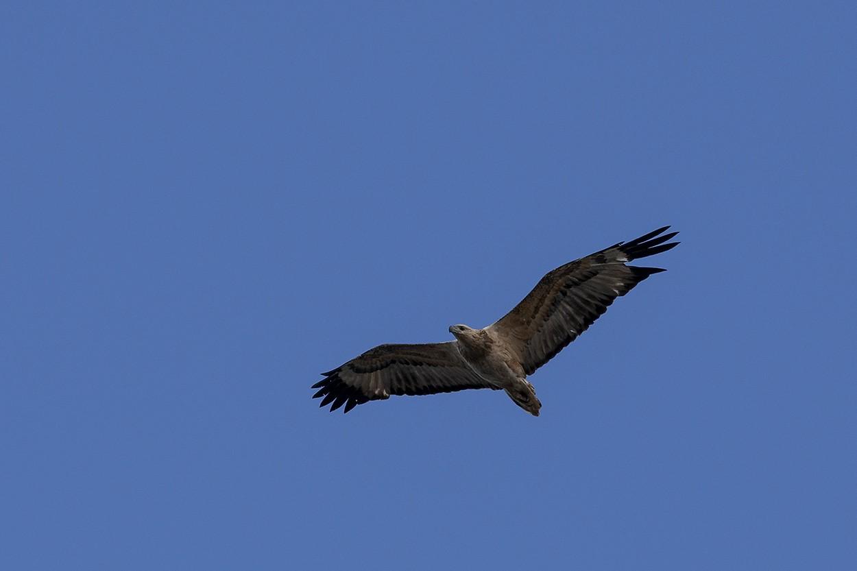 Falcon Soar