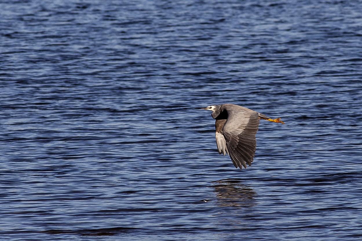 Heron Over Blue
