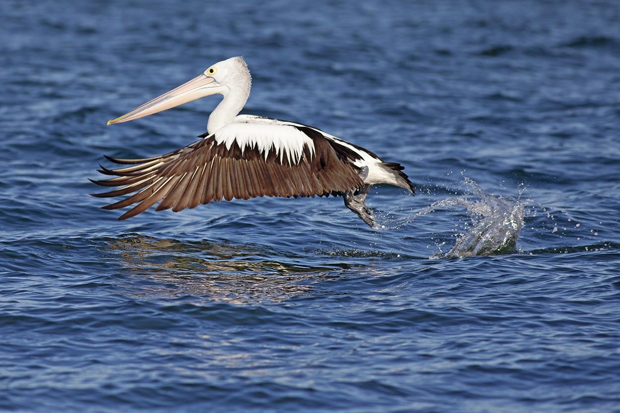 Pelican Start